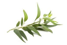 L'huile essentielle d'Eucalyptus Radiata et les autres Eucalyptus